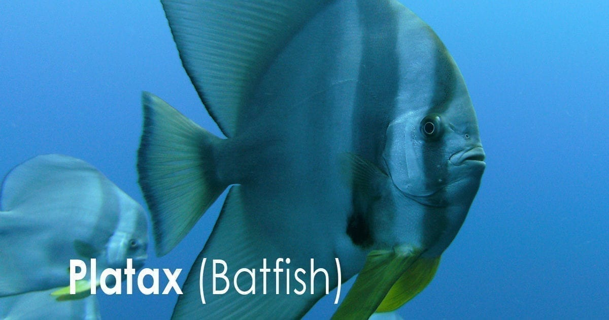 Platax - (Batfish)